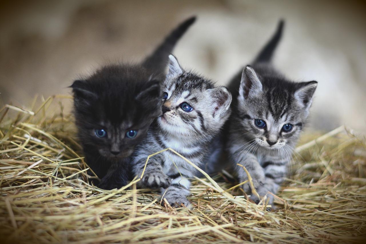 chatons dans de la paille