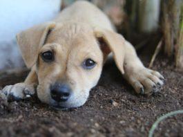 chiens de petite taille