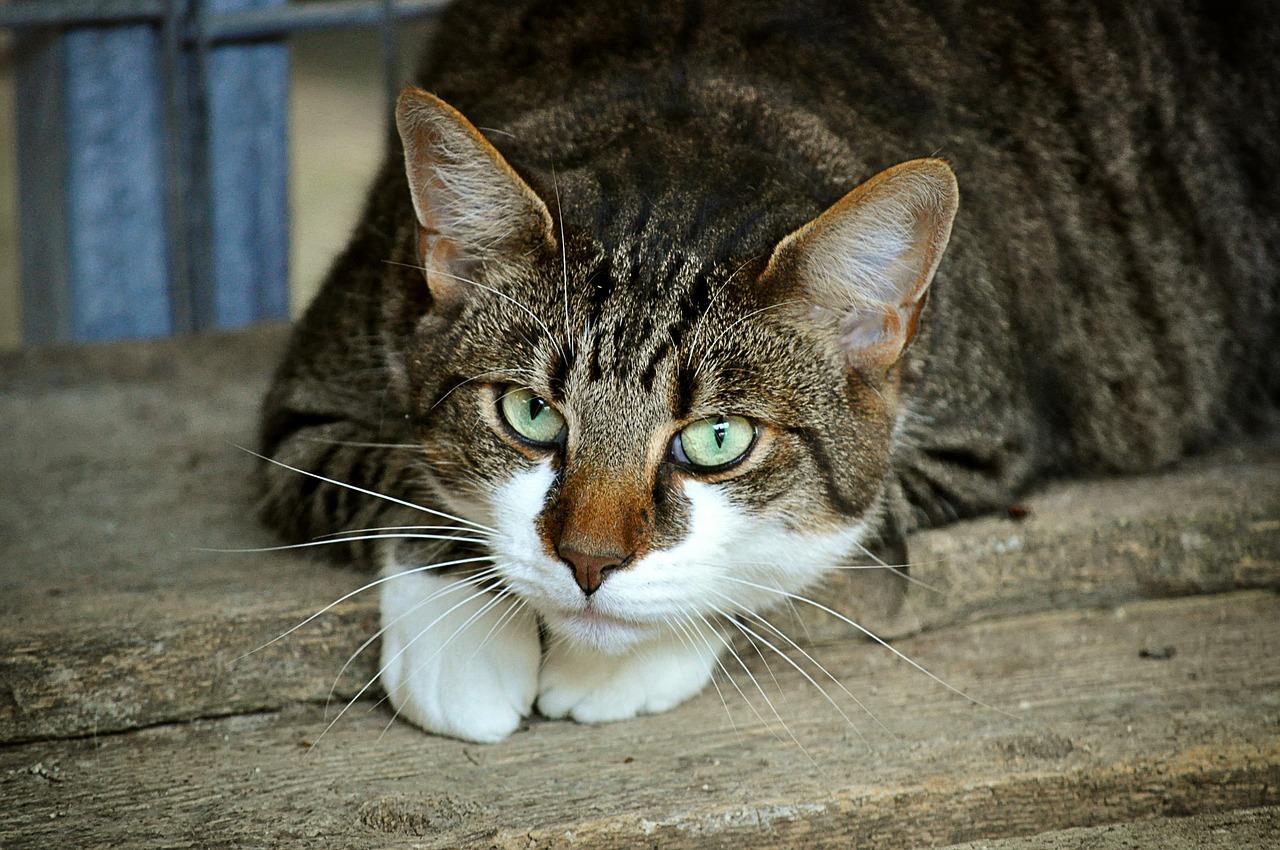 durée de vie moyenne chat malade
