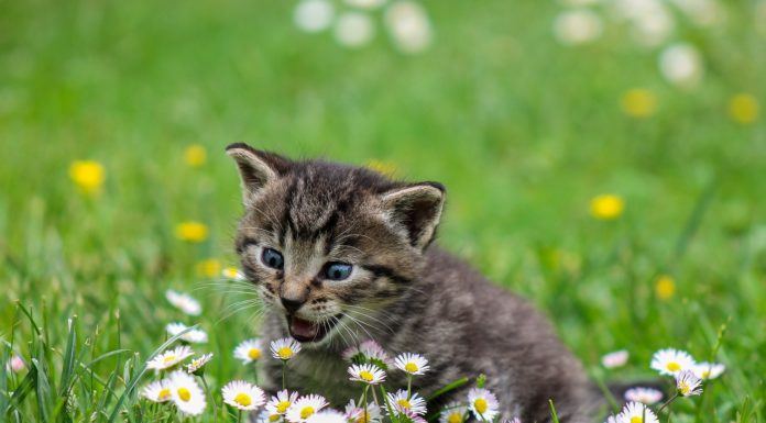durée de vie moyenne du chat