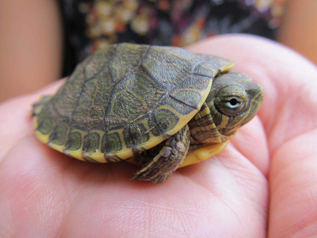 petite tortue d'eau