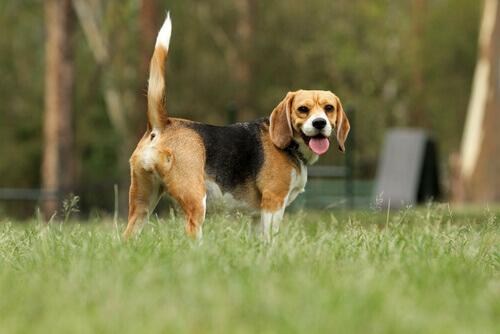 race de chien anglais