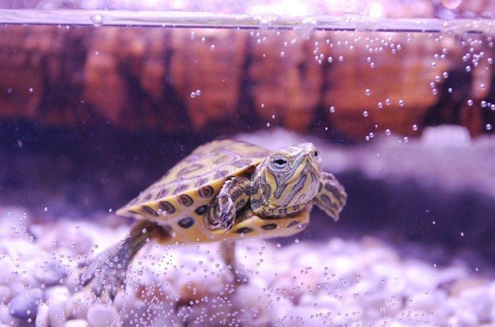 tortue d'eau dans un aquarium