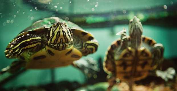 tortue d'eau qui nage