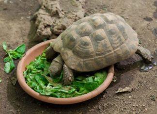 tortue de terre qui mange