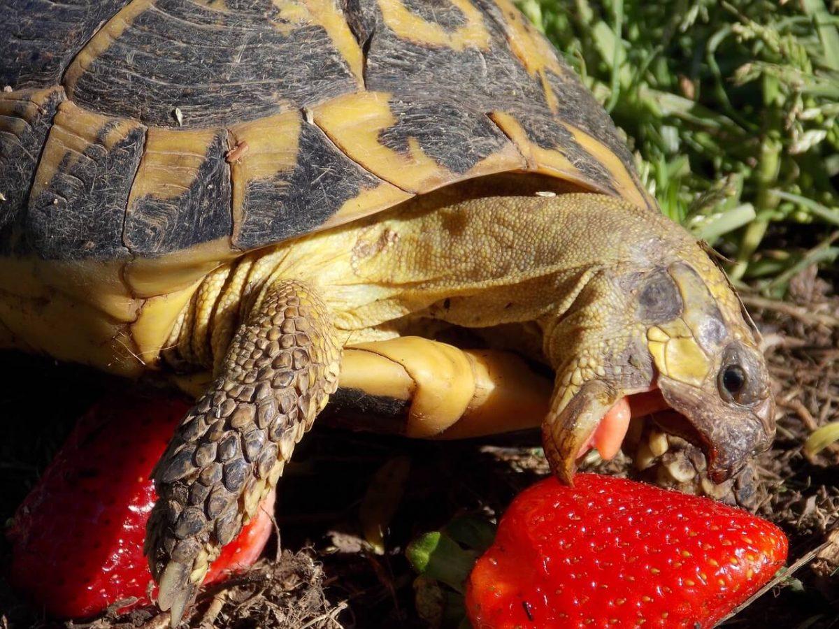 tortue de terre qui mange une fraise