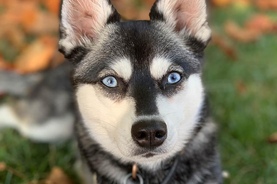 Alaskan Klee Kai yeux bleus