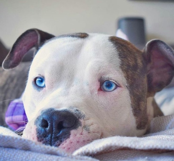 American Pit Bull Terrier yeux bleus