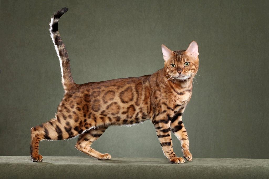 Bengale race de chat hypoallergenic