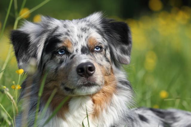 Berger des Shetland aux yeux bleus