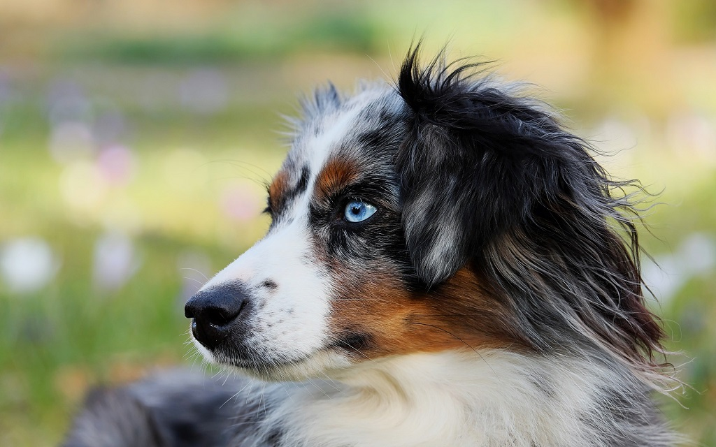Border Collie aux yeux bleus
