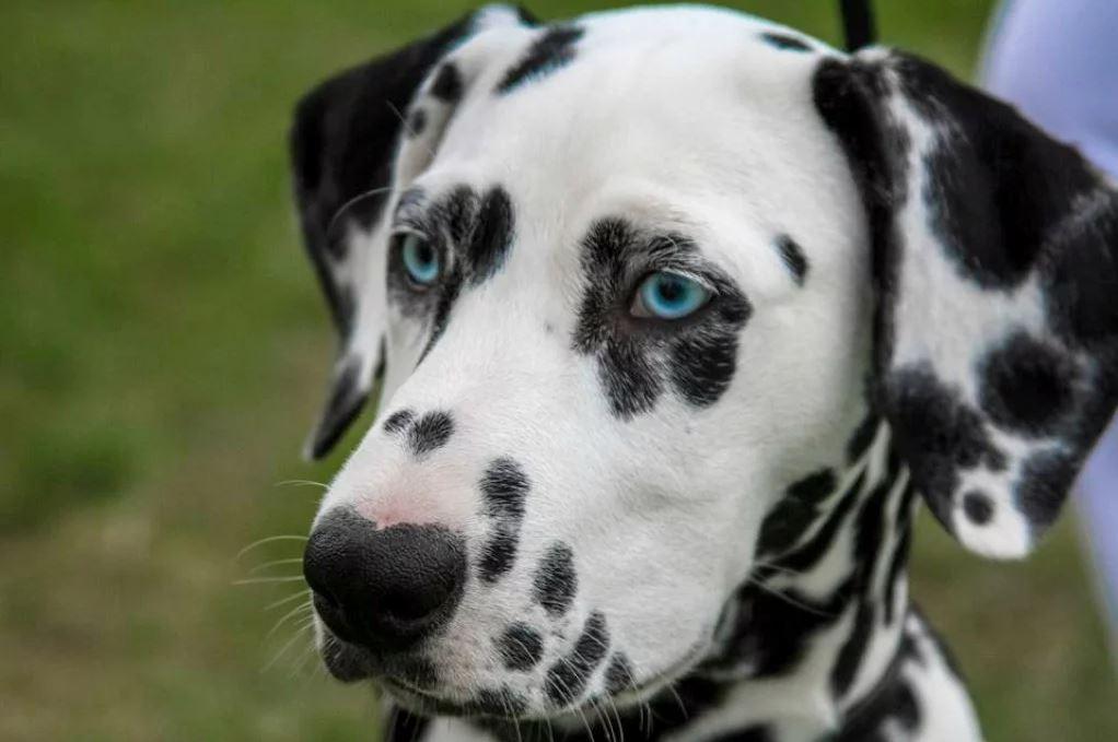 Dalmatien aux yeux bleus