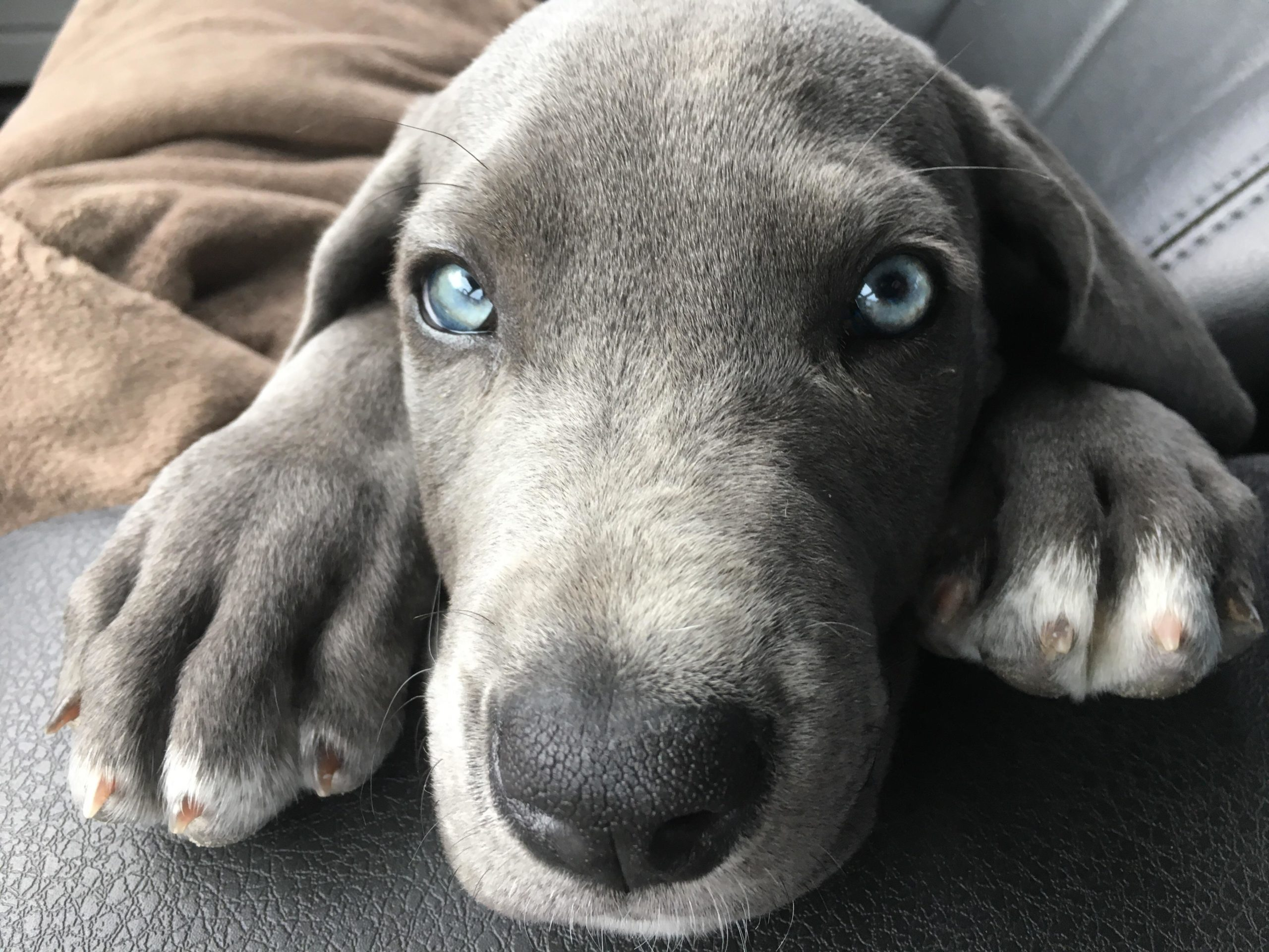 Dogue allemand yeux bleus