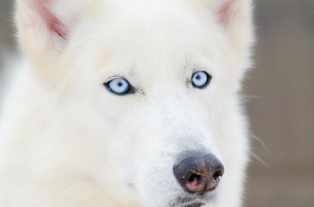 Husky sibérien aux yeux bleus