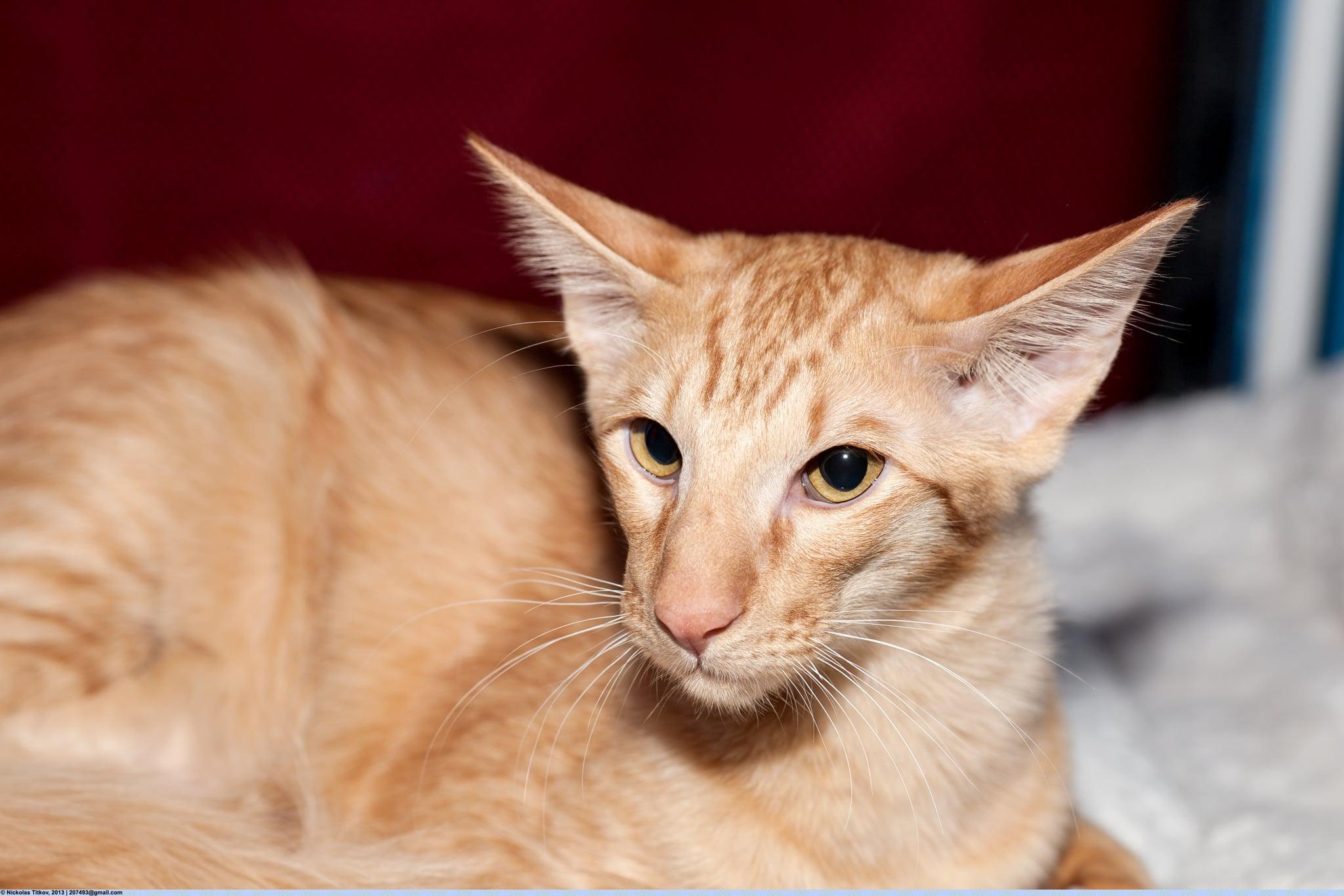 Javanais chat hypoallergénique