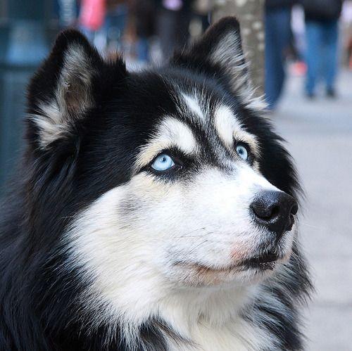 Malamute de l'Alaska aux yeux bleus