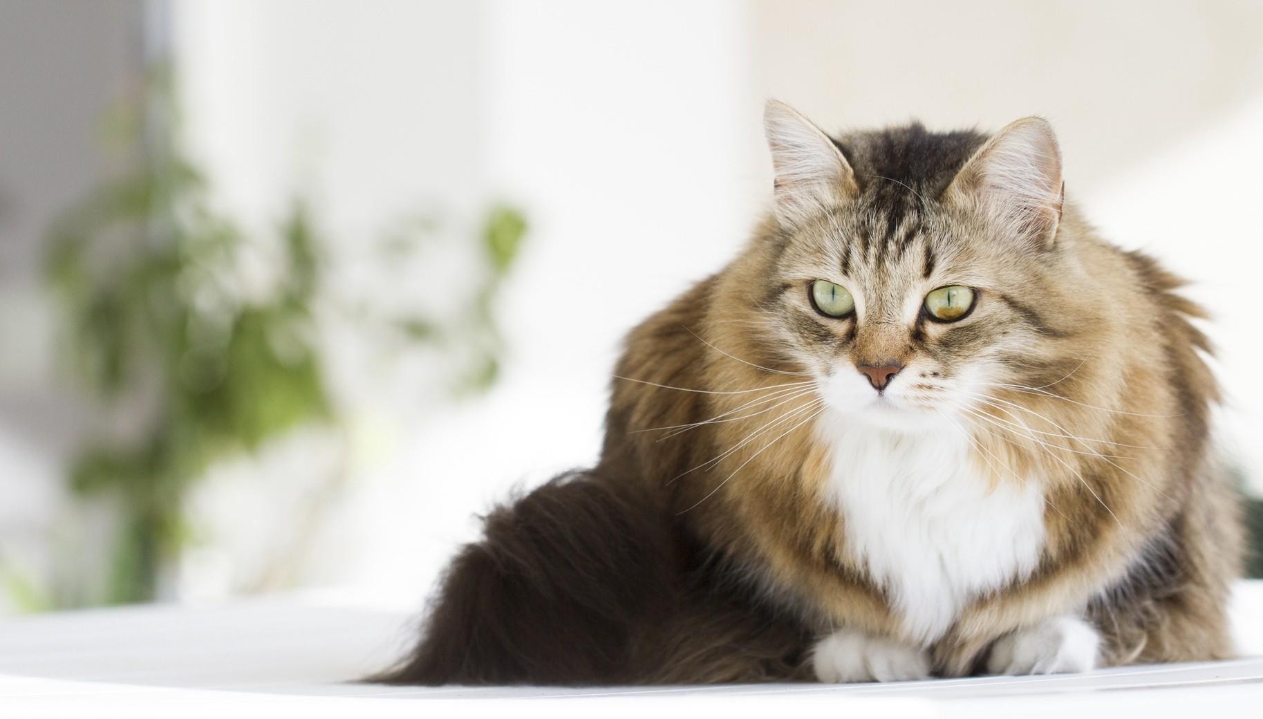 Sibérien chat hypoallergenic