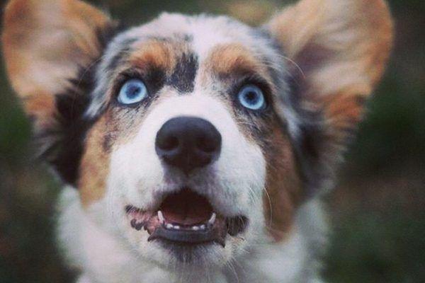 Welsh Corgi Cardigan aux yeux bleus