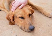 Température corporelle du chien
