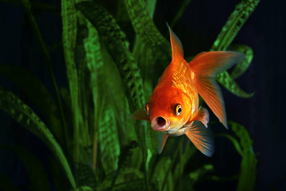 augmenter l'espérance de vie de son poisson rouge