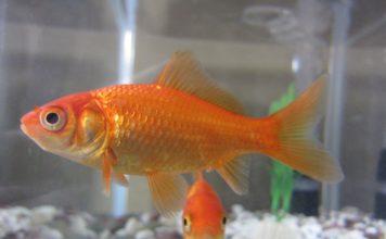 durée de vie moyenne d'un poisson rouge