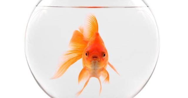 experance de vie poisson rouge dans un bol