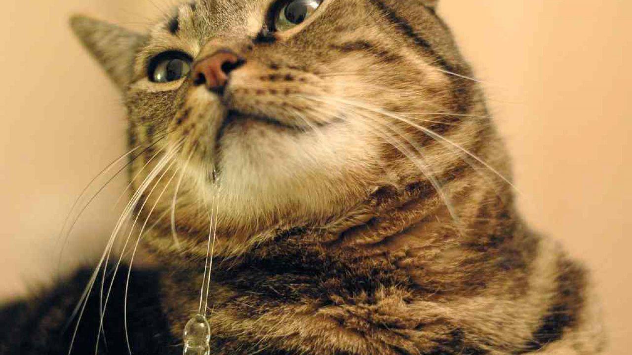 salivation excessive chez le chat