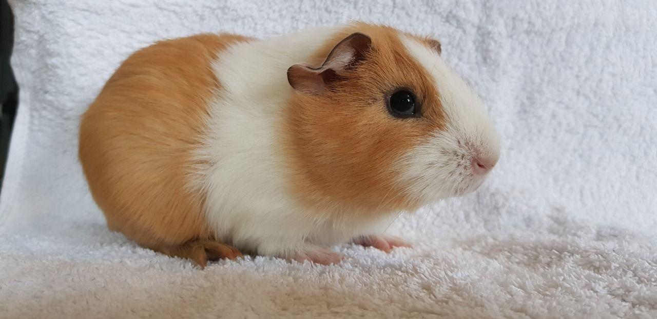 Cochon d'Inde à poil ras