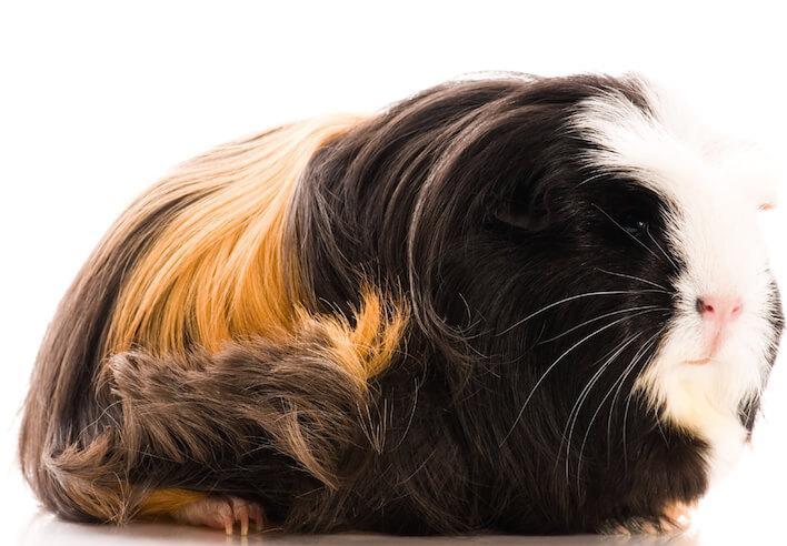 Cochon d'Inde Coronet