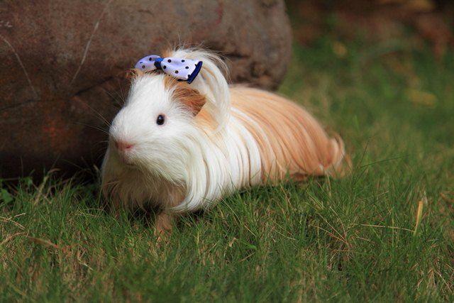 Cochon d'Inde Silky