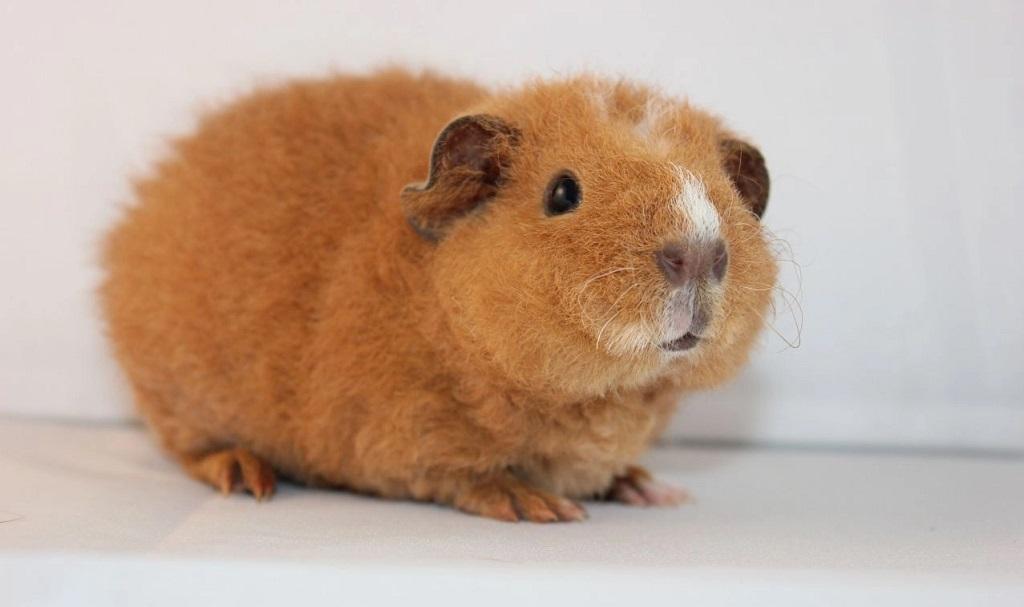 Cochon d'Inde Teddy