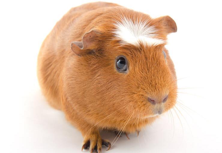 Cochon d'Inde couronnés
