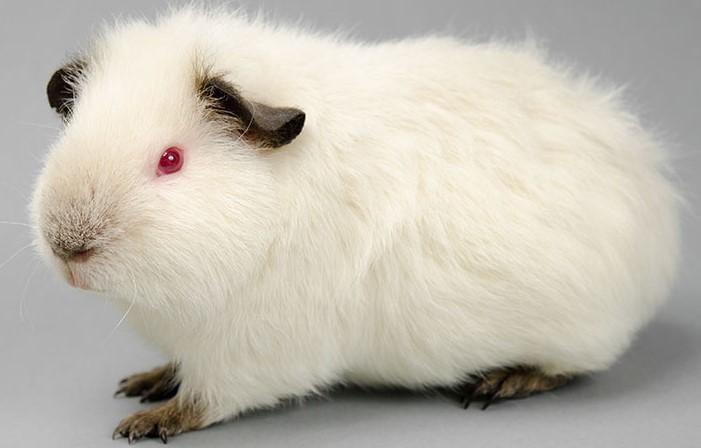 Cochon d'Inde de l'Himalaya