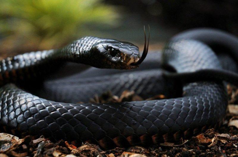 Serpent animaux les plus dangereux du monde