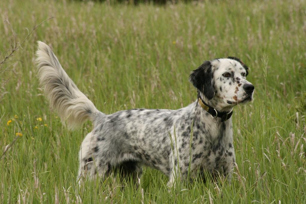 Setter anglais chien de chasse