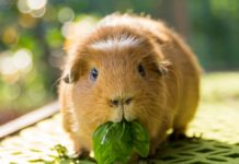 alimentation du cochon d'inde