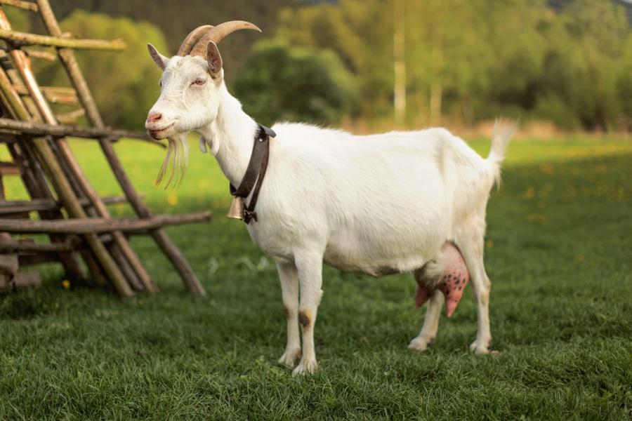 animaux de la ferme chèvre