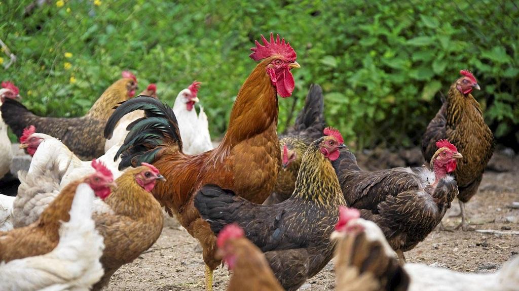 animaux de la ferme coqs et poules