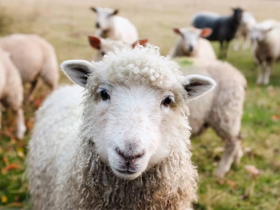 animaux de la ferme le mouton