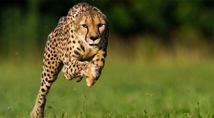 animaux les plus rapides du monde