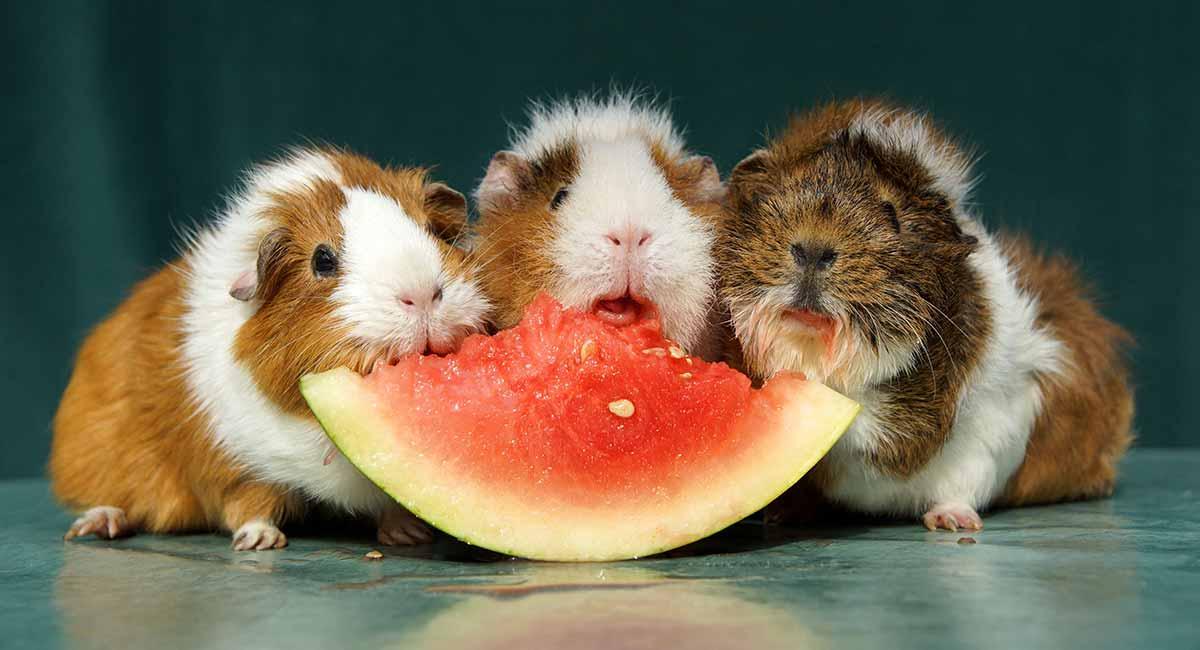 fruits pour cochon d'inde