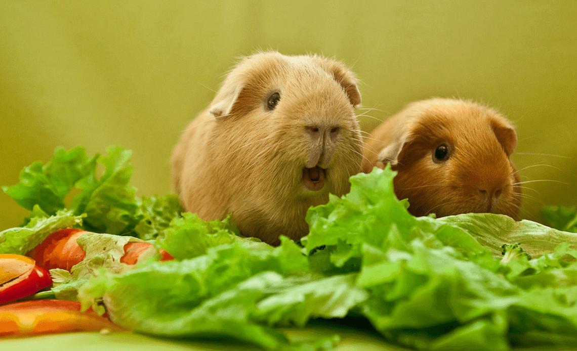 les legumes pour cochon d'inde