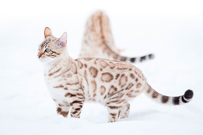 chat bengal neige