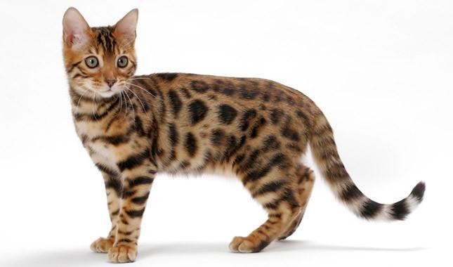 chat bengal brun