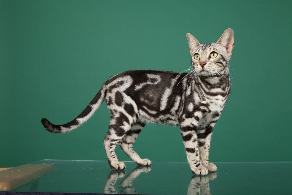 chat bengale marbré