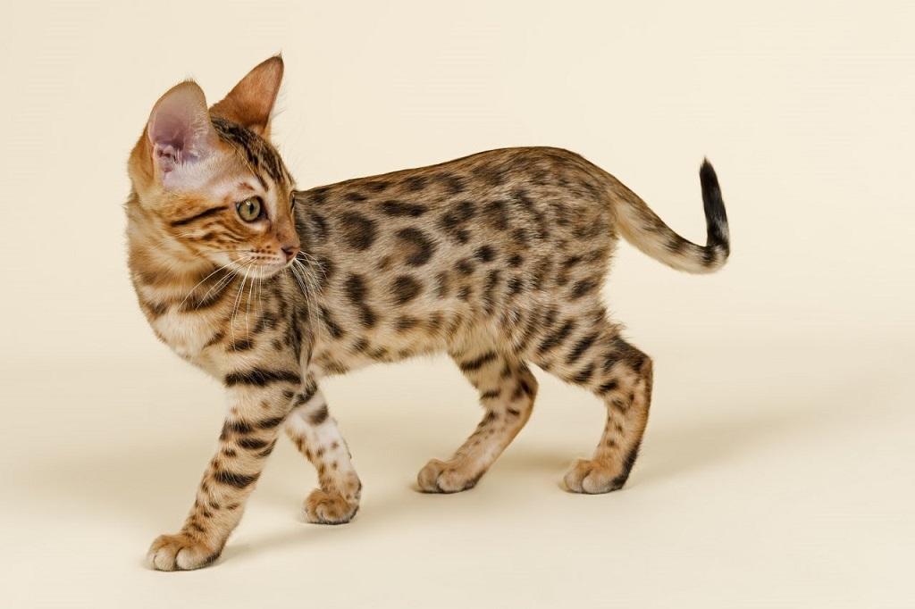 chat du bengal tacheté