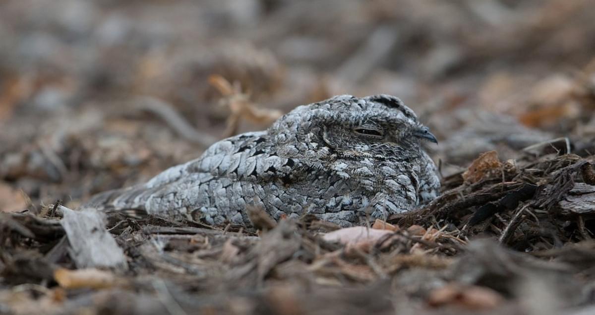 engoulevent de Nuttall hibernation