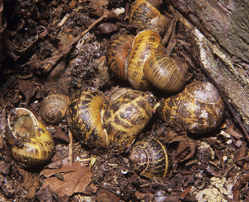 escargots qui hibernent
