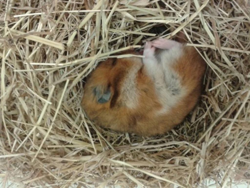 hamster qui hiberne