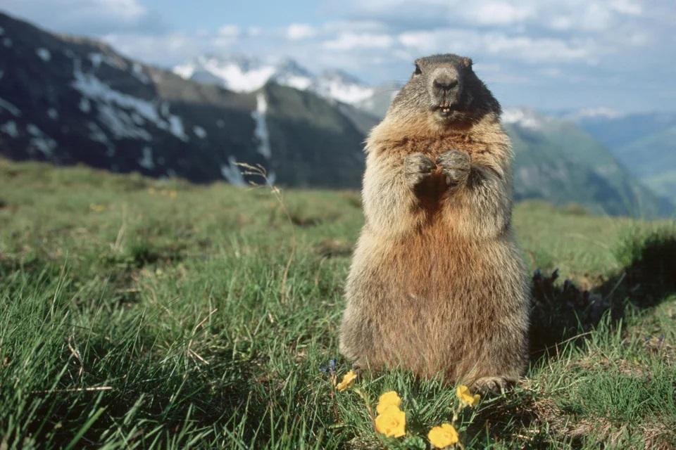 marmotte avant hibernation